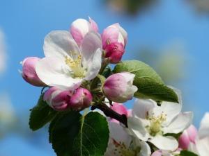 apple-blossom-116409_1920