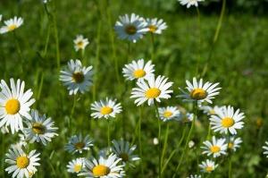 daisies-1487380_1920
