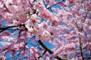 japanese-cherry-trees-2196121_1920