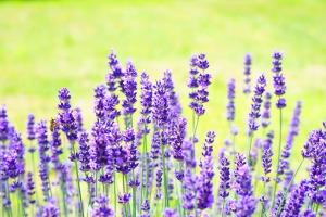 lavender-2117431_1920